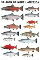 Salmon of North America Poster by Joseph R. Tomelleri